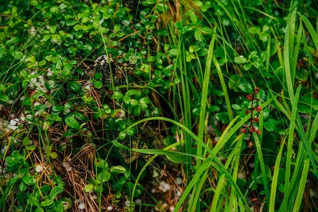 Град на земле среди богатой растительности в макросе. большой род на растения крупным планом. естественный фон града с зеленью. гроза падает среди трав. аномальные осадки. удивительная погода