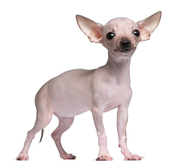 Hairless chihuahua, 5 months old, standing
