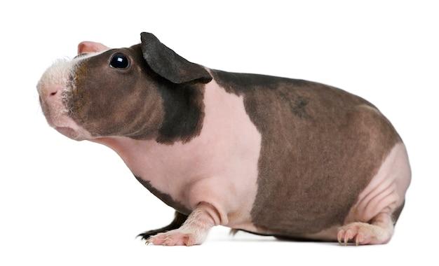 Hairless guinea pig standing