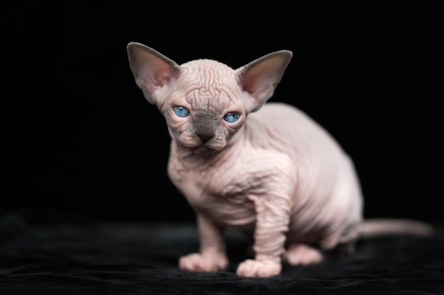 Hairless kitten of canadian sphynx cat breed sitting on black background and looking at camera