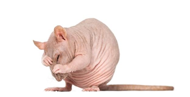 毛のないネズミが自分自身を掃除する