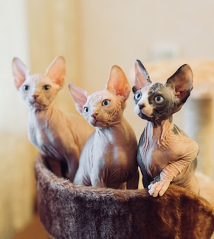 Hairless sphinx cats.