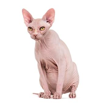 孤立した無毛スフィンクス猫の肖像画