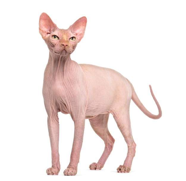 Hairless sphynx cat portrait isolated