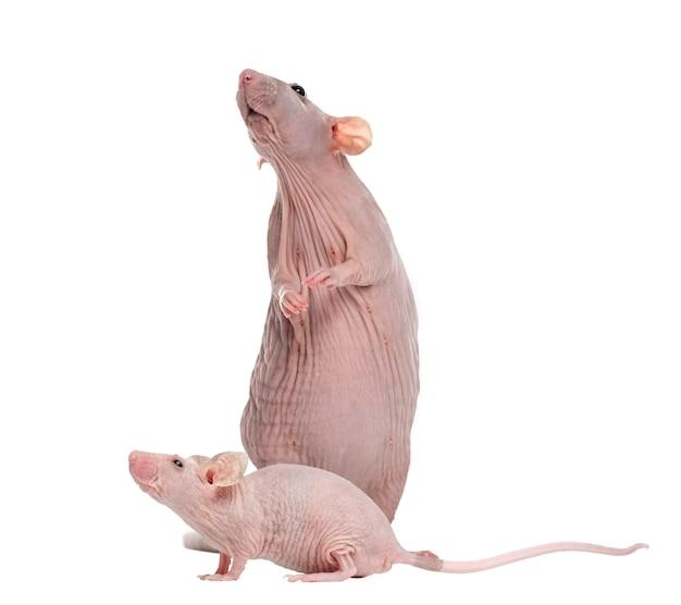 Безволосая крыса и безволосая домовая мышь, изолированные на белом