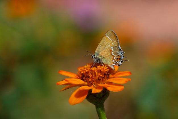 Hairstreak butterfly on marigold