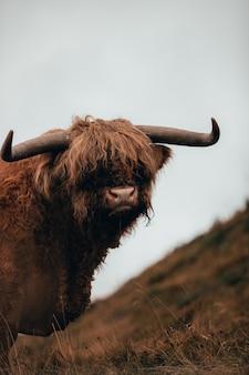 カメラを見ている毛むくじゃらの雄牛