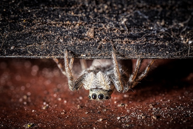 Una tarantola grigia pelosa e spaventosa con quattro occhi che strisciano