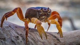 Hairy Leg Mountain Crab Crawling On Tree Bark