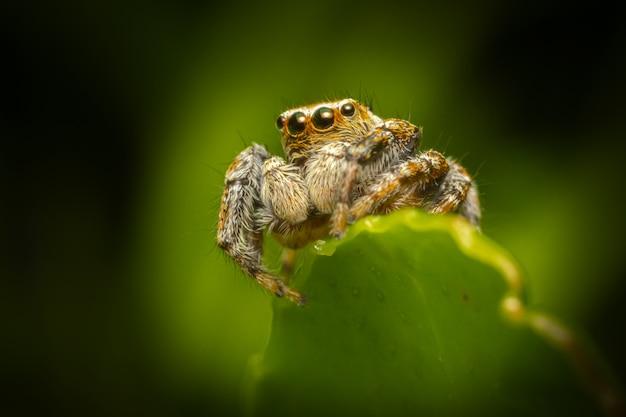 Волосатый паук сидит на листе крупным планом