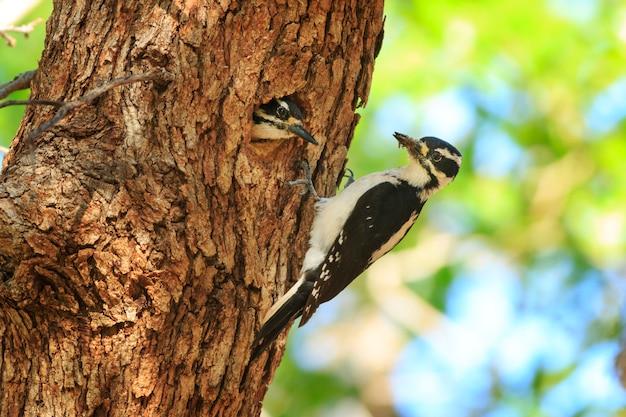 Гнездование волосатых дятлов