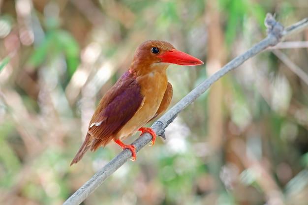 血色の良いカワセミhalcyon coromandaタイの美しい鳥