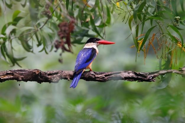 ブラックキャップのカワセミhalcyon pileataタイの美しい鳥