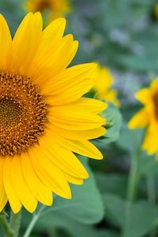 黄色の花びらを持つひまわりの半分。鮮やかな花のフィールド。自然の風景。