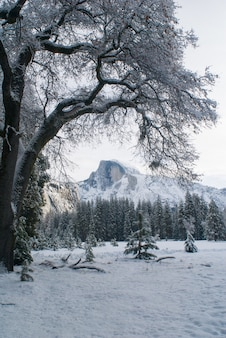 Half dome and snowy tree from stoneman meadow