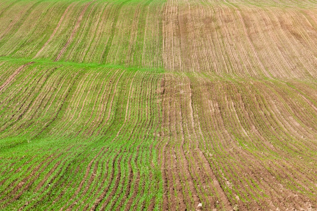 Half of the field with germinated sprouts of wheat after its sowing, winter varieties of plants