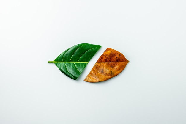 Half of a green and brown dry leaves on white background.