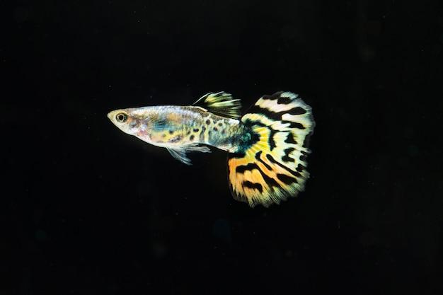 「ハーフムーン」美しい黄色と黒のスカートのベタ魚