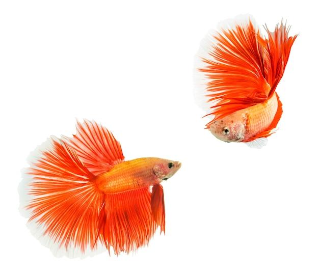 Полумесяц betta splendens или сиамские боевые рыбы, изолированные на белом фоне.