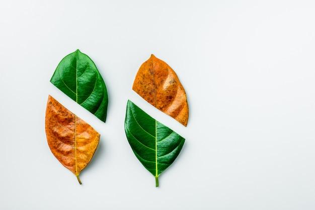 Половина из зеленых и коричневых сухих листьев на белом фоне.