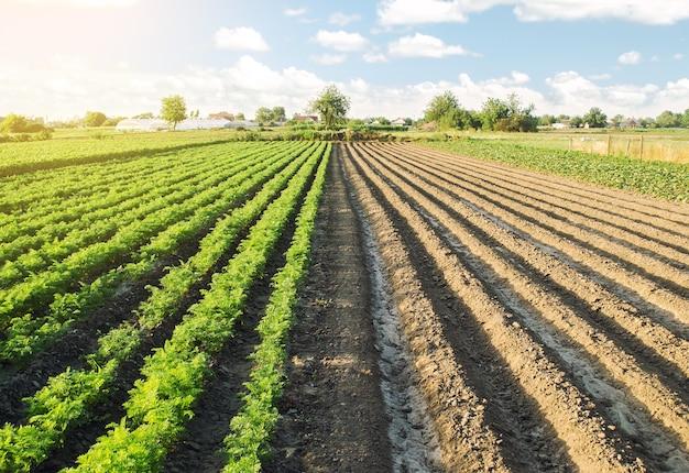 Половина поля засажена плантациями моркови, а вторая часть готова к посеву.