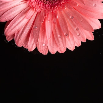 Half of pink gerbera and black background