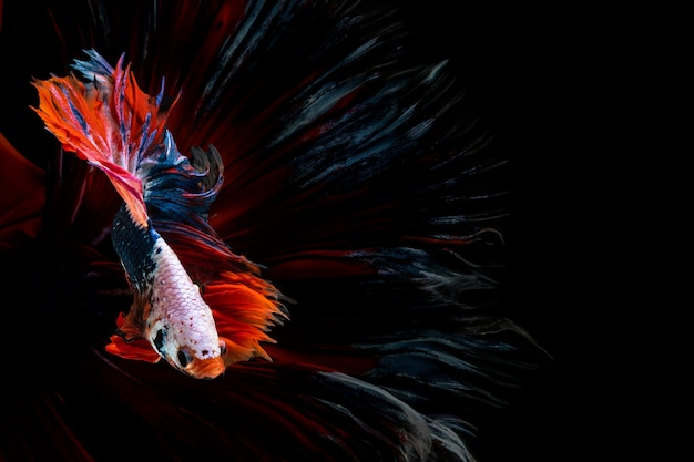 Halfmoon betta beautiful fish. capture the moving moment beautiful of siam betta fish