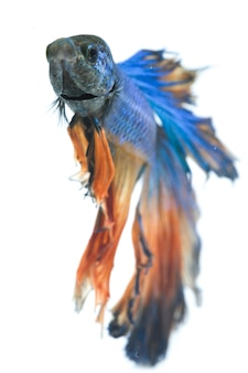 Halfmoon betta blue fighting fish