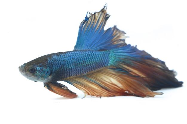 Halfmoon betta blue fighting fish