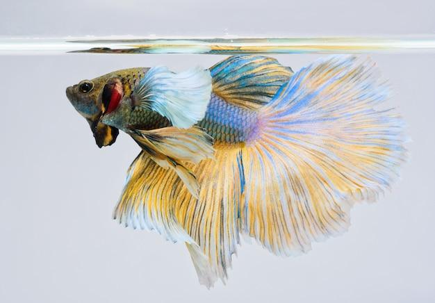 Halfmoon betta fish, siamese fighting fish, betta splendens