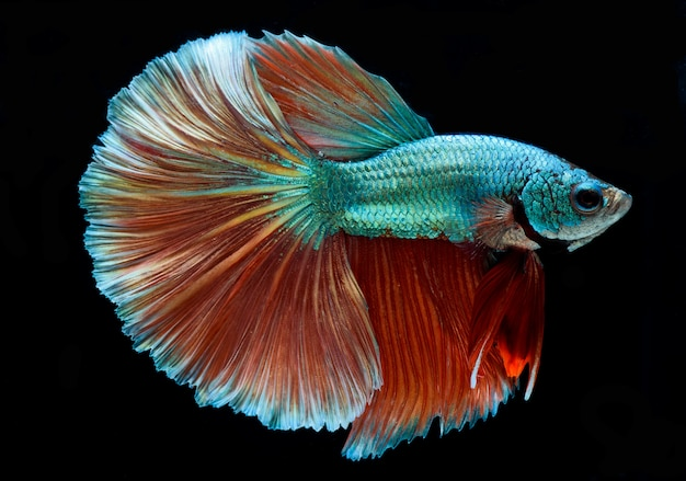 Halfmoon betta fish, siamese fighting fish, capture moving of fish, abstract background of fish tail