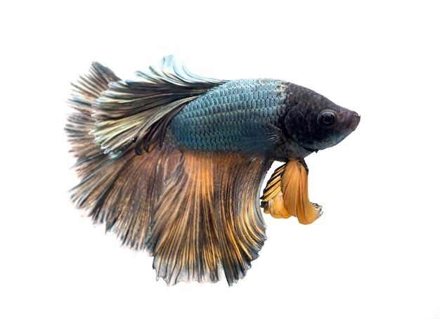 Halfmoon betta fish on white