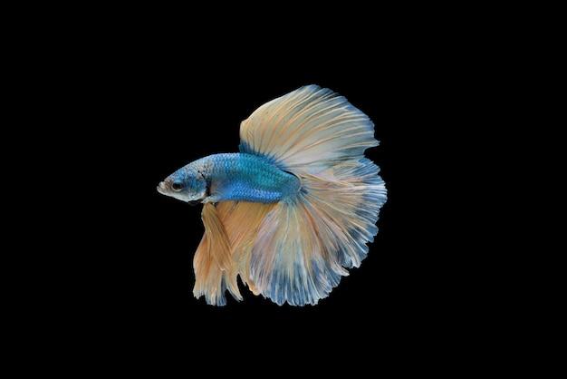 Halfmoon betta splendens o pesci siamesi combattimento isolato