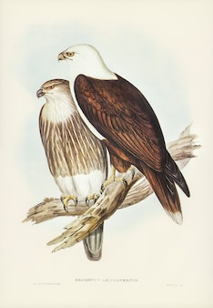 Белогрудый морской орел (haliaster leucosternus), иллюстрированный элизабет гулд