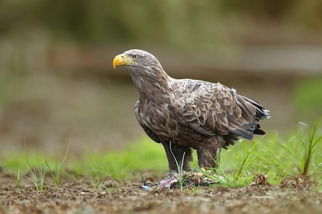 Взрослый орлан-белохвост, halitaeetus albicilla, питается пойманной рыбой.