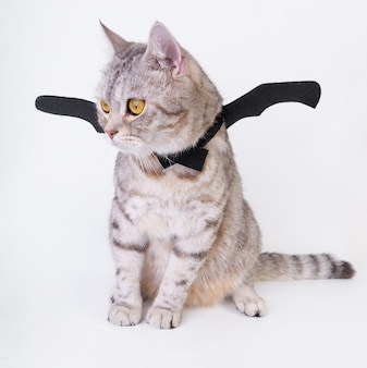 Halloween cat,portrait kitty wear black bat wing isolated on white background