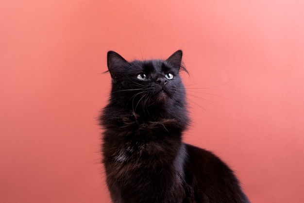Halloween cat with white decorative pumpkins against the rust color background. portrait of a beautiful fluffy black cat.