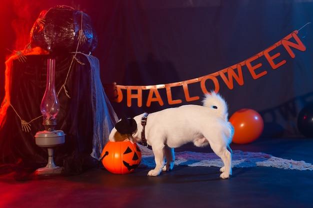ハロウィーンのお祝いのコンセプト面白い犬がハロウィーンのカボチャから食べる