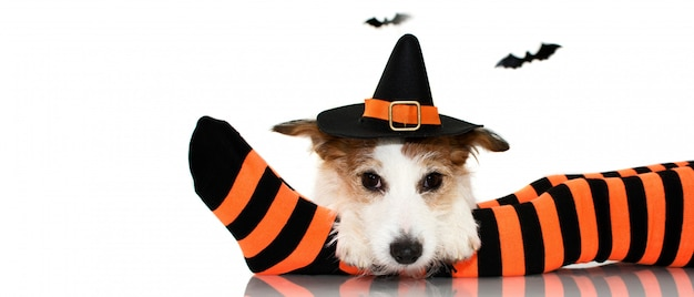 Halloween dog. wearing a witch  hat sitting  over   a child socks.
