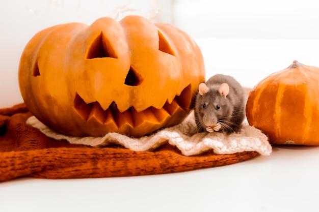 ハロウィーンのネズミとカボチャハロウィーンのネズミとカボチャ灰色の装飾的なネズミ秋の色