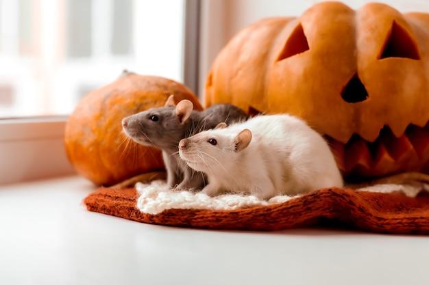 Хэллоуин крыса и тыква две крысы и тыква на хэллоуин декоративная крыса осенние цвета