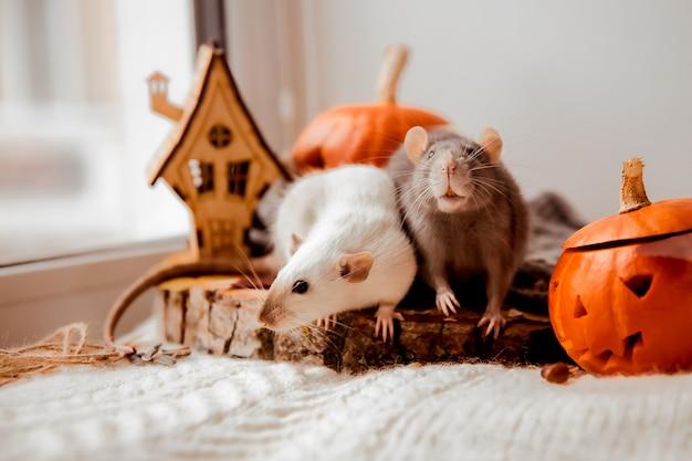 Хэллоуин две крысы и тыква крысы и тыква на хэллоуин декоративные крысы осенние цвета