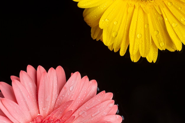 Metà dei fiori della gerbera con lo spazio della copia