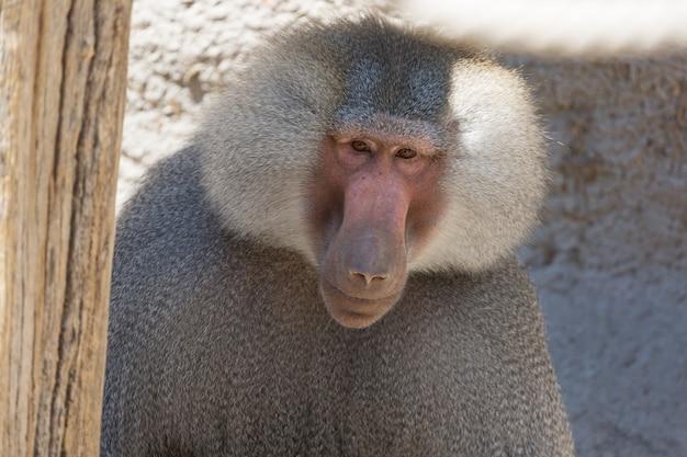 Hamadryas baboon papio hamadryas pavian close up portrait