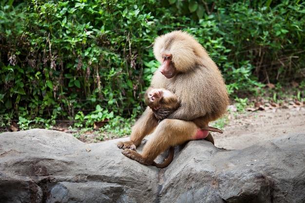 The hamadryas baboon