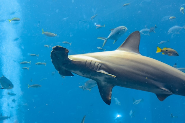 수족관에 있는 귀상어 상어. 큰귀상어(sphyrna mokarran)는 귀상어과에 속하는 귀상어의 가장 큰 종입니다. 아틀란티스, 싼야, 섬 하이난, 중국.