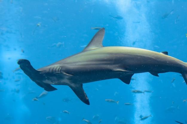 Акула-молот в аквариуме. большая акула-молот (sphyrna mokarran) - самый крупный вид акулы-молота, принадлежащий к семейству sphyrnidae. атлантида, санья, остров хайнань, китай.