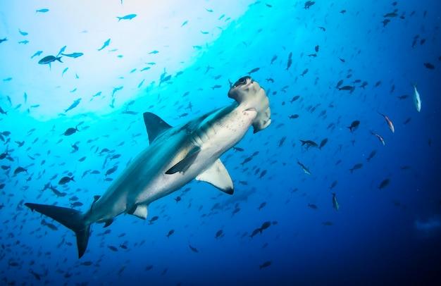 열대 수중에서 헤엄치는 귀상어(sphyrnidae). 수중 세계에서 망치 상어입니다. 야생 바다 관찰. 갈라파고스의 에콰도르 해안에서 스쿠버 다이빙 모험
