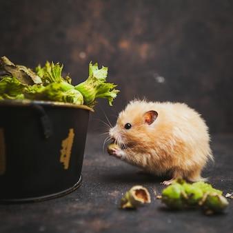 Хомяк ест ореховый вид сбоку на темно-коричневый