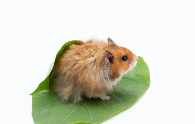 Hamster is sitting between endive leafs on white